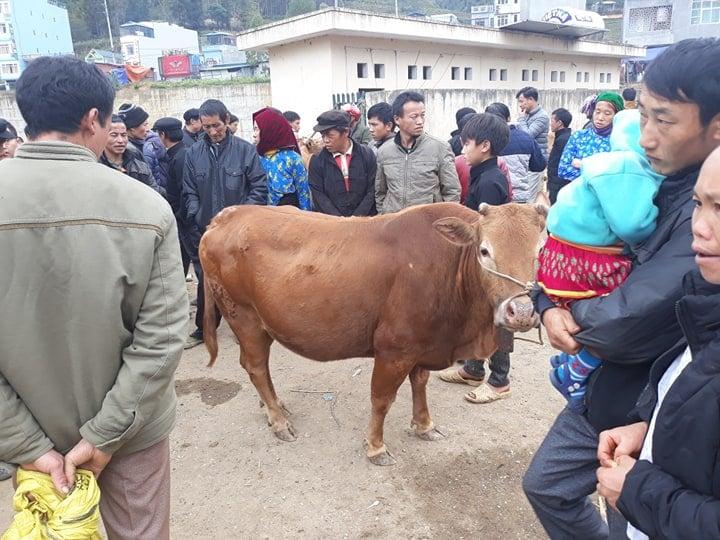Cow at backward markets Ha giang